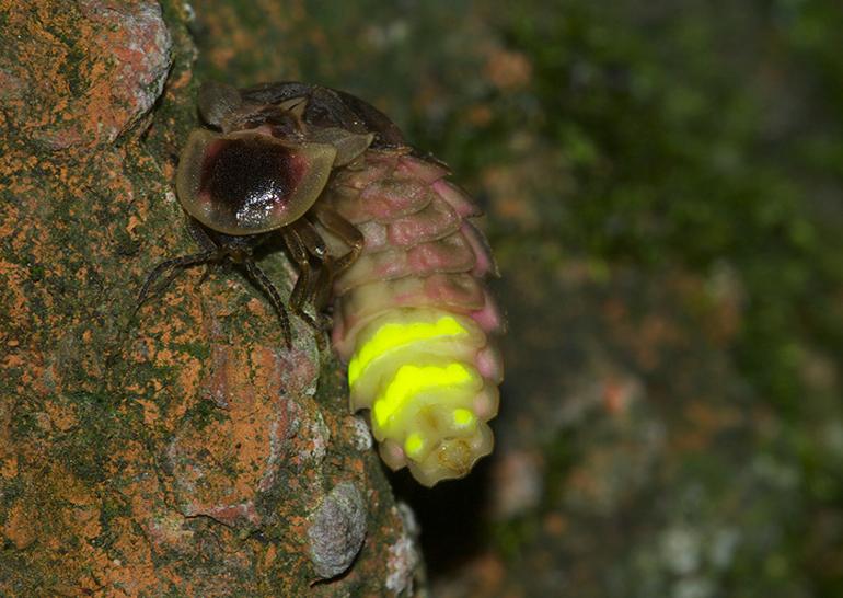 картинки жуков светлячков